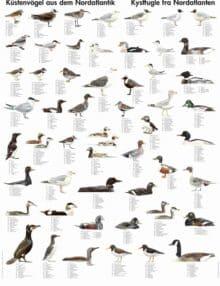 Plakat kystfugle