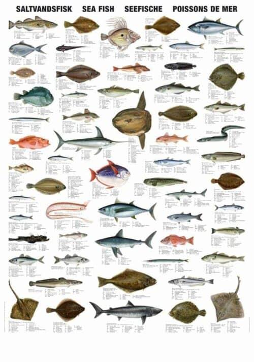 Plakat saltvandsfisk