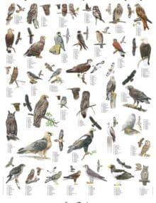 Plakat rovfugle og ugler