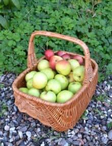 Æblekurv rødpil